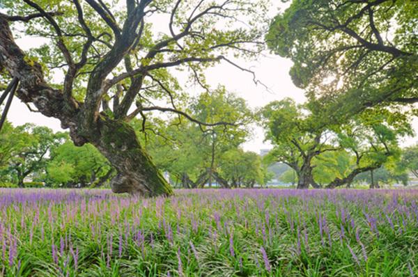 성주 성밖숲 맥문동.
