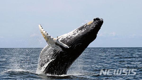 일본 오키나와 '혹등고래 워칭 투어'.