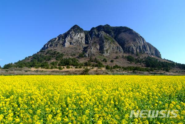 제주 서귀포시 산방산 앞 유채꽃밭.