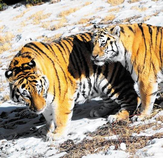 내달 3일 정식 개장하는 국립백두대간수목원의 '호랑이 숲'에 방사된 백두산 호랑이들이 지난 겨울 적응기 동안 느긋하게 걷고 있다.