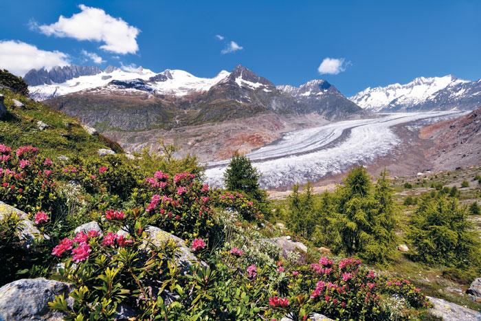 완연한 봄, 알펜 로즈가 가득 핀 알레치 빙하의 아름다운 전경.