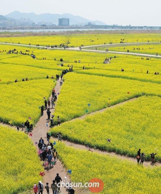 부산 강서구 대저동 낙동강 둔치의 대저생태공원 전경. 지난 14~22일 '부산 낙동강유채꽃축제'가 열린 이 공원은 아직 유채꽃이 '노랑 바다'를 이루고 있다. 이 유채꽃밭은 축구장 100개 크기로 국내 최대 규모다.