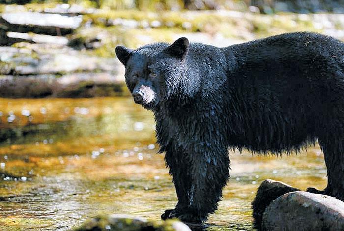 야생의 흑곰
