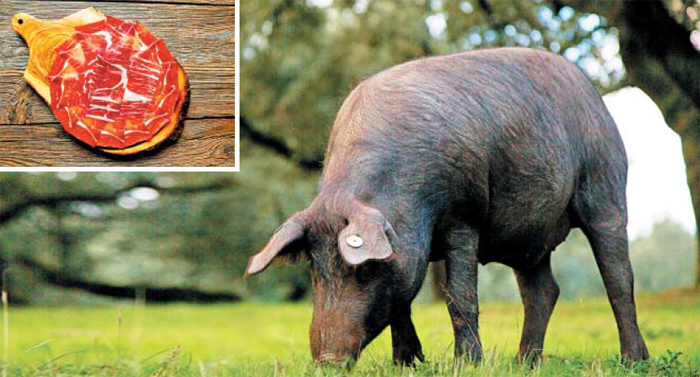 이베리코(Iberico)를 만들어 내는 스페인 토종 흑돼지. 길게는 17개월까지 사육한다. 그만큼 사료비가 많이 드는데도 사육되는 이유는 스페인 햄 '하몽(왼쪽 위)'을 반드시 스페인 토종 흑돼지로 만들어야 하기 때문이다.