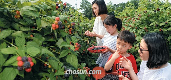 지난 9일 오전 전북 고창군의 한 복분자 농장에서 수확 체험에 나선 관광객이 복분자를 따서 맛을 보고 있다.