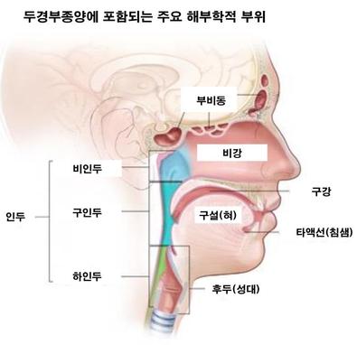 두경부암 발생 주요 부위. /서울대병원 제공