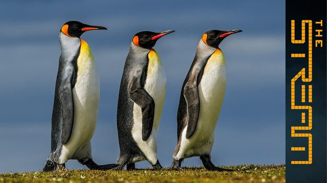 [Al jazeera] Why are king penguins being decimated? | The Stream
