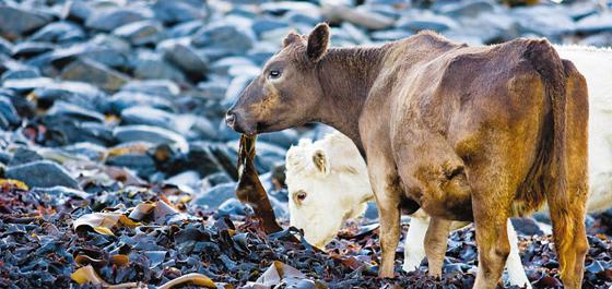 호주 바닷가에서 해조류를 먹고 있는 소들. 젖소 사료에 해조류를 섞어 먹이면 온실가스인 메탄 방출량이 30% 이상 줄어드는 것으로 나타났다.