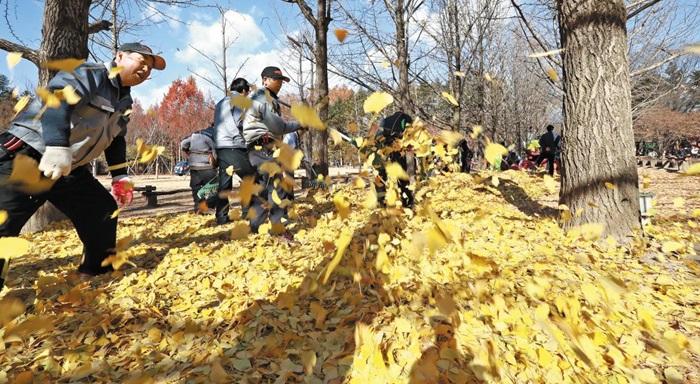서울 송파구 은행잎은 해마다 11월 중순 강원 춘천시 남이섬으로 실려와 '송파 은행나무길'에 뿌려진다. 낙엽을 재활용하는 본보기로 꼽힌다. 송파구청