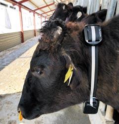일본 한 축산 농가에서 키우는 소의 목에 사물인터넷 기기 '팜노트 컬러'가 부착된 모습.