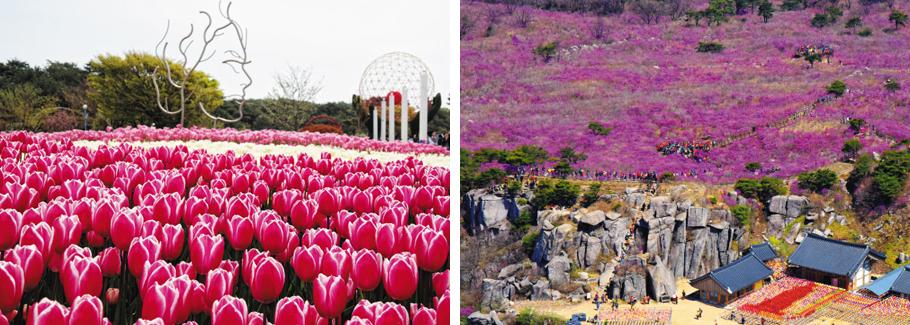 튤립 200만 송이를 만날 수 있는 충남 태안 안면도 꽃지해안공원(왼쪽 사진)과 진달래가 흐드러진 대구 달성군 비슬산의 모습.