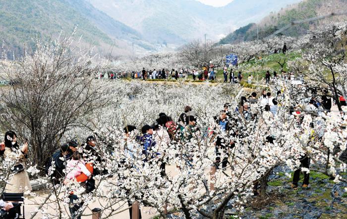 지난해 3월 열린 경남 양산 '원동매화축제' 현장. 낙동강 제방을 끼고 만발하는 홍매와 백매가 유명하다.
