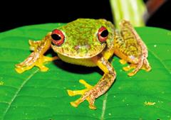이끼붉은눈 개구리