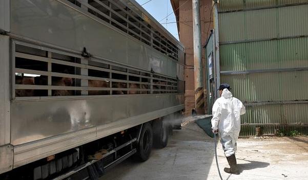 지난 4일 경기 파주시 양돈 농가를 운영하는 노하영(64)씨가 돼지를 실은 트럭에 소독약을 뿌리고 있다. /김우영 기자