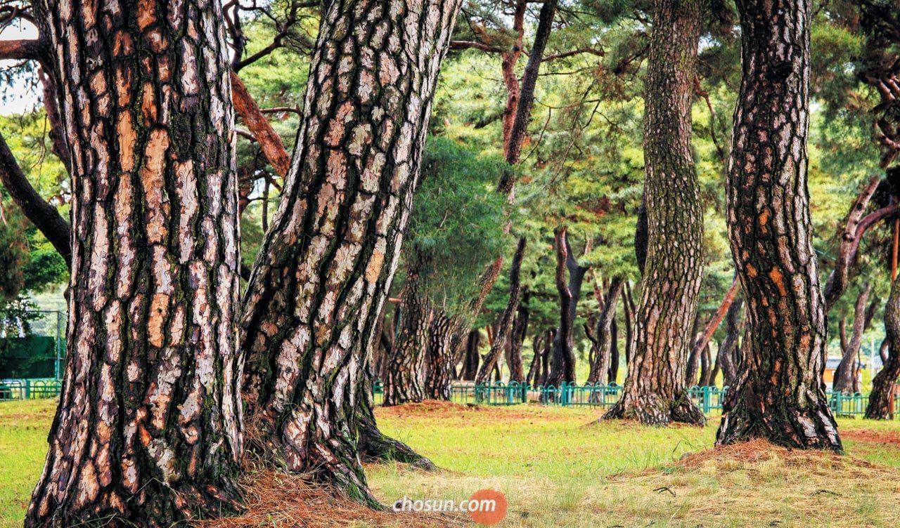 살기 좋은 경상도 예천 금당실 마을에는 소나무 숲이 있다.