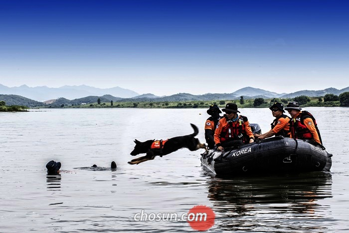 중앙119구조본부 인근의 낙동강에서 수상탐지견 '세빈이'가 물에 빠진 대원을 발견해 짖다가 물속으로 뛰어들고 있다. 수상탐지견은 수난 사고 현장에서 냄새로 물속 사체를 찾는다. / 대구=이신영 영상미디어 기자