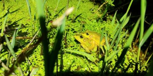 계양신도시 계획부지서 발견된 금개구리. /인천녹색연합 제공