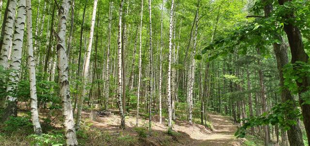 둘레길코스의 자작나무 숲길