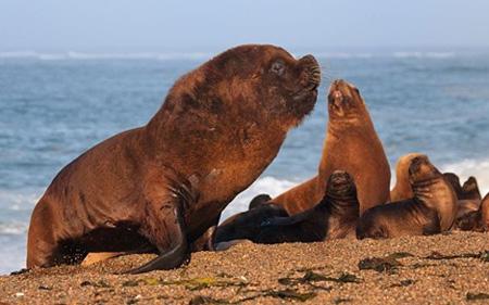바다사자 무리 중 가장 크고 힘이 센'알파'두목은 모든 부와 암컷들을 차지한다. 수컷들은 '알파'가 되기 위한 끝없는 싸움을 반복한다.