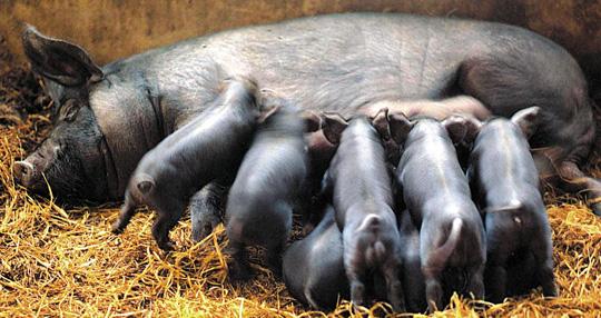 보통'흑돼지'라고 하면 재래종 돼지라고 생각하지만 해외에서 유입된 품종과 섞인 교잡종이 대부분이다. 한 농가에서 흑돼지를 키우고 있는 모습. 흑돼지 중 영국 버크셔 품종은 쫄깃한 육질과 적당한 탄력으로 고기 맛을 아는 사람들에게 특히 인기다.