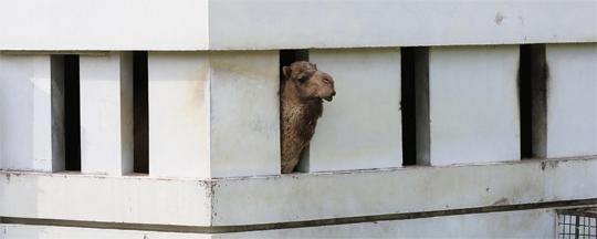 서울대공원 낙타도 격리 - 메르스가 확산되는 가운데, 2일 경기 과천시 서울대공원 동물원 내 낙타가 격리돼 있다. 메르스는 낙타를 통해 사람에게 전염되는 것으로 알려져 있다. 서울대공원은 이 낙타의 메르스 감염여부를 검사의뢰 할 예정이다.