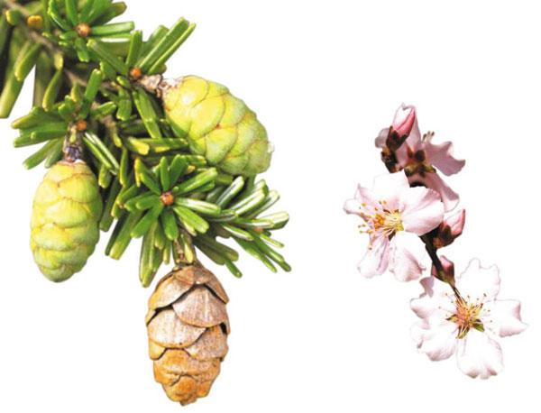 10월에 열린 솔송나무 솔방울(왼쪽). 4월에 핀 아몬드나무 꽃
