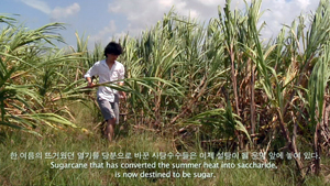 사탕수수 농장에서 설탕을 직접 만드는 모습을 담은 '메이드인' 시리즈 대만 편.