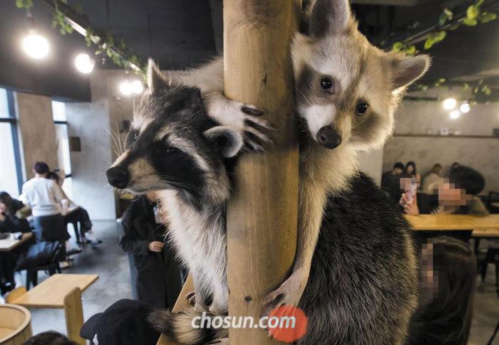 24일 오후 서울 마포구에 있는 야생동물 카페에서'미국 너구리'인 라쿤 두 마리가 기둥을 잡고 선반에 앉아 있다.