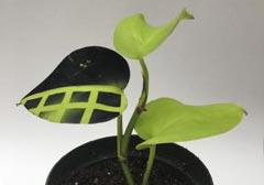 식물 잎에 전자 센서 새겨 실시간으로 건강상태 측정