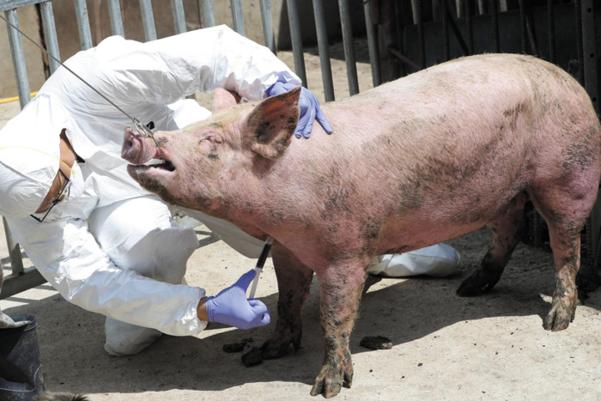 양돈 농장에서 돼지에게 예방접종을 하는 모습. /조선DB