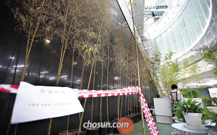 누렇게 변한 대나무 - 13일 오후 서울 지하철 6호선 녹사평역 지하 4층 예술정원의 대나무가 노랗게 말라있다. 이곳은 햇볕이 잘 들지 않고 환기가 잘 되지 않는다.