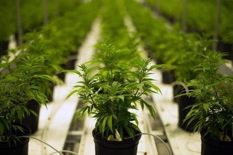 캐나다 온타리오주의 의료용 마리화나 재배농가/블룸버그 제공