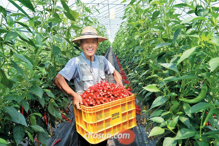 지난 7일 경북 상주시 함창읍 신흥리 '상주고추연구소' 하우스에서 농장주 김주완(55)씨가 수확한 고추를 가득 안고 함박웃음을 짓고 있다. 전국적 추세와는 반대로, 상주를 찾는 귀농귀촌인은 매년 조금씩 늘고 있다. 시는 교육프로그램 등 귀농인들을 위한 지원을 아끼지 않는다.