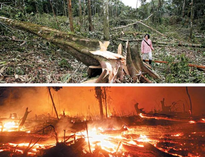 베어지고 화염에 휩싸인 아마존 - 지난달 수많은 나무가 잘려나가 폐허가 된 에콰도르의 밀림 한복판을 양유경 탐험대원이 둘러보고 있다. 기둥이 잘려 상아색 속살을 드러낸 나무와 이파리가 널려 있다. 이곳은 이틀 만에 옥수수밭을 만들려는 현지인들에 의해 폐허가 됐다. 아래 사진은 브라질 론도니아의 아마존 밀림이 불타고 있는 최근 모습.