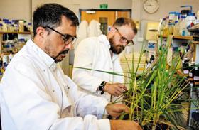 영국 헤리엇와트대 연구진이 실험실에서 보리를 살펴보고 있다.
