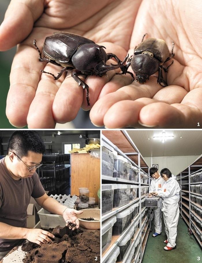 1 장수풍뎅이 수컷(왼쪽)과 암컷. 2 김성윤 기자가 애완용 곤충 농장 '곤충하우스'에서 장수풍뎅이 선별 작업을 하고 있다. 3 조유진 기자가 식용 곤충 농장 '여가벅스'에서 굼벵이를 수확하고 있다.