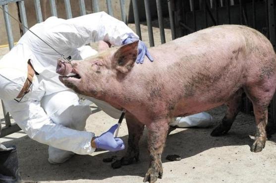 방역 관계자들이 질병 감염 여부를 조사하기 위해 돼지의 피를 뽑고 있다 / 조선일보