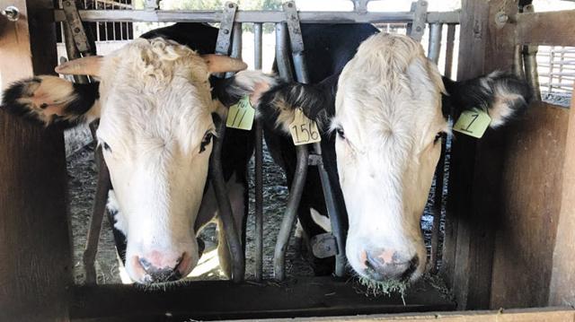뿔이 난 젖소(왼쪽)와 뿔이 없는 젖소. 유전자 교정 기술을 이용해 처음부터 뿔이 자라지 않게 하는 데 성공했다.
