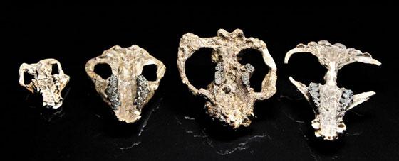 왼쪽부터 공룡 멸종 후 30만년에서 70만년 사이에 출현한 포유류들의 두개골 화석.