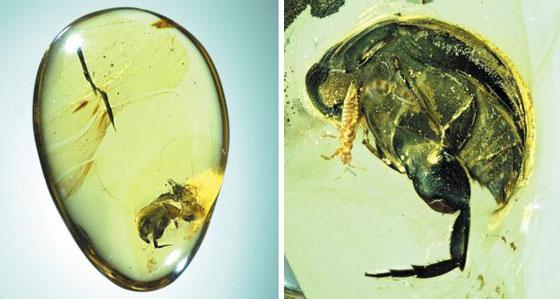9900만년 전 호박이 품은 곤충 꽃가루 매개의 비밀
