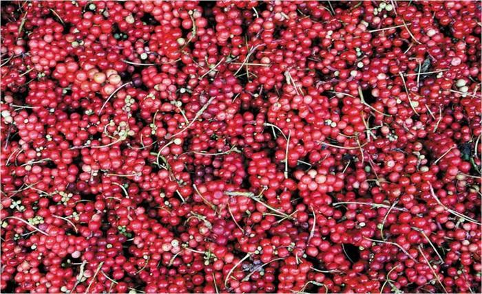 경북 문경이 집산지인 오미자 열매. 오미자로 술을 빚으면 로제와인보다 빛깔이 더 곱다.