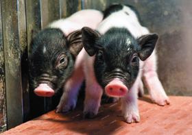 유전자 13개 교정한 이식용 돼지