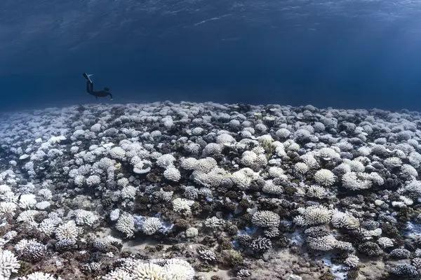 수온 상승으로 인해 산호초에 백화 현상이 나타났다. /트위터 캡처