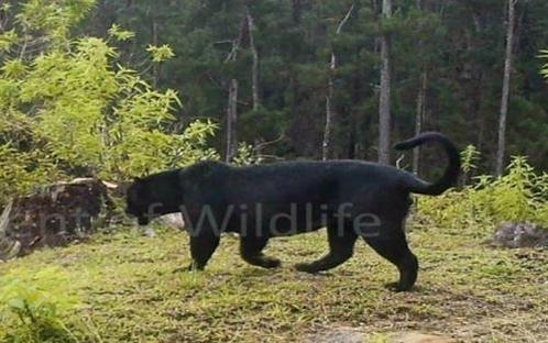스리랑카서 멸종된 줄 알았던 '흑표범' 생존 확인/유튜브 캡처