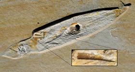몸길이 28㎝의 오징어 화석. 머리 부분에 길이 19㎜ 익룡 이빨이 박혀 있다.