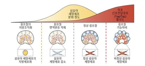 림프절 내 섬유아 세망세포 분화 정도와 히포 신포전달경로의 연관성. /기초과학연구원 제공