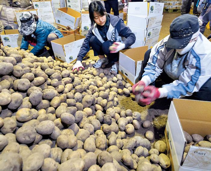 지난 17일 강원 홍천군 내면에 있는 감자 농가에서 기자가 감자 포장 작업을 하고 있다. / 한준호 영상미디어 기자