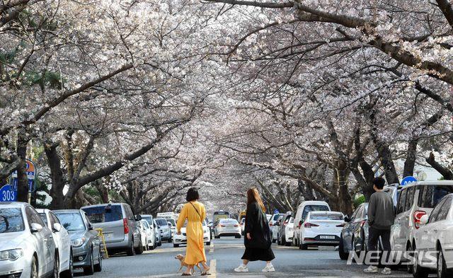 부산 남천동 벚꽃터널