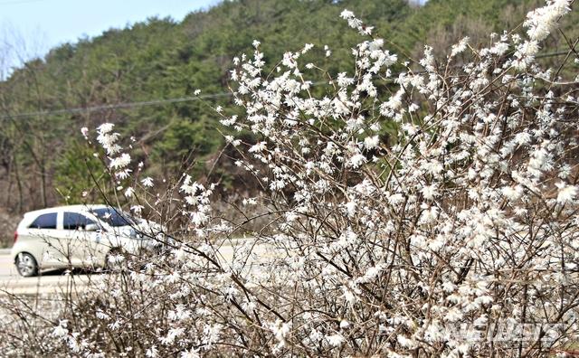 활짝 핀 괴산 장연 송덕리 미선나무