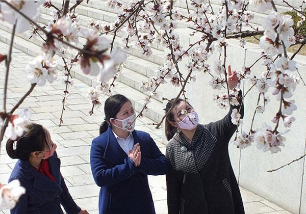 북한 여성들이 마스크를 쓴 채 도심에 핀 봄꽃을 바라보고 있다.